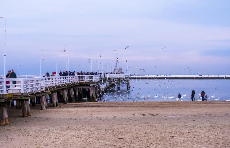 The Sopot Pier is the longest wooden pier in Europe. People walk and feed the swans on the beach in Sopot, Poland stock photos