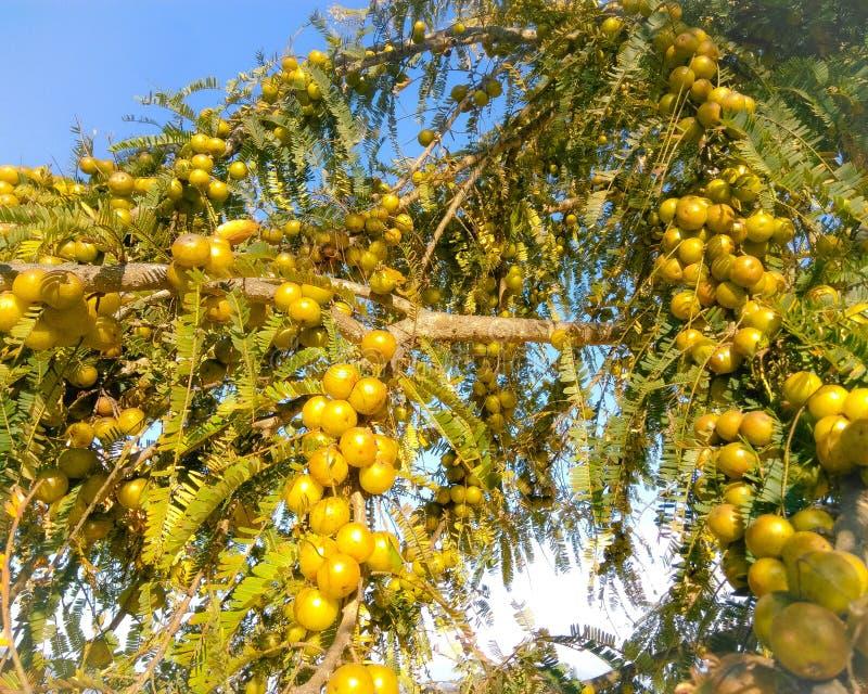 Sopportando dell'uva spina alla stagione invernale fotografie stock