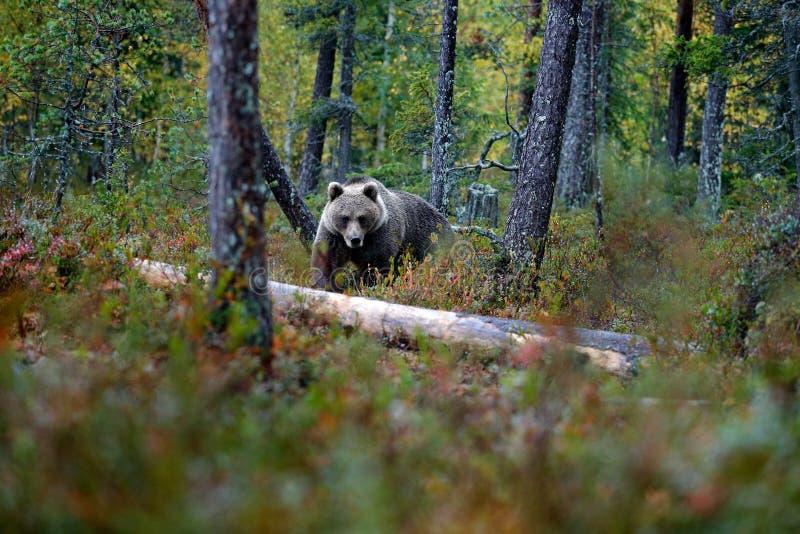 Sopporti nascosto negli alberi gialli di autunno della foresta con l'orso Bello orso bruno che cammina intorno al lago con i colo immagine stock libera da diritti