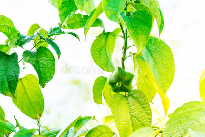 Sopra il tono dell'albero di Plukenetia Volubilis con il seme, conosciuto comunemente fotografia stock