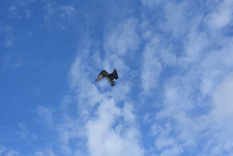 Sopra la foto di vista di un volo del pellicano in Aruba fotografie stock libere da diritti