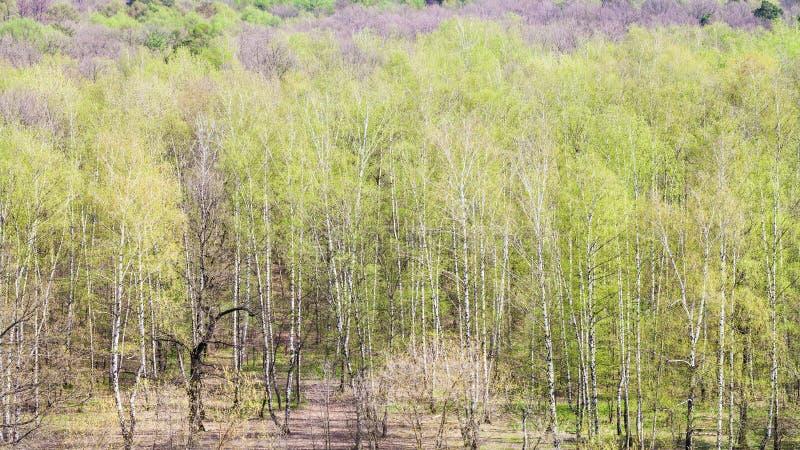 Sopra la vista della foresta con fogliame verde in primavera fotografia stock