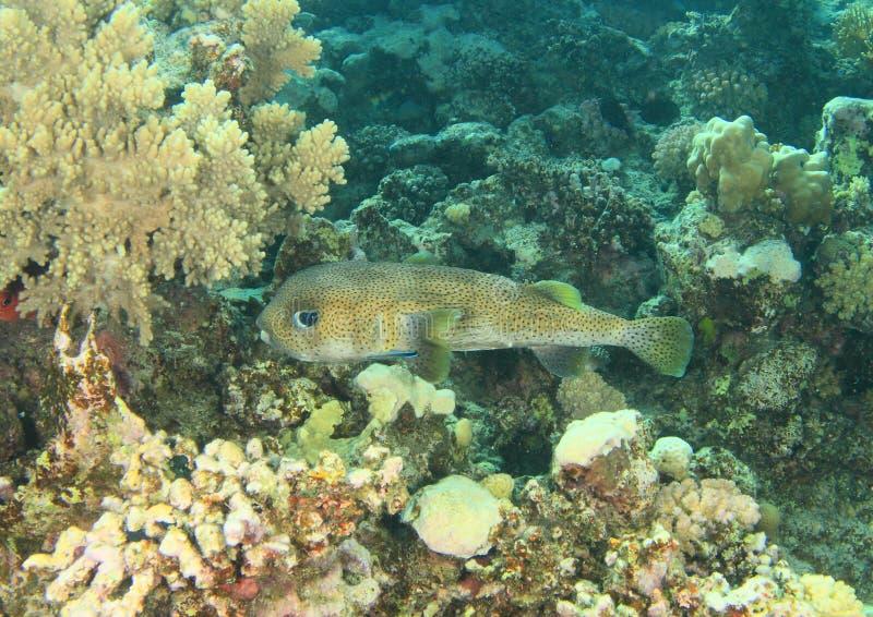 Soprador gigante dos peixes imagens de stock
