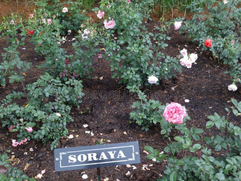 Soraya menchii & czerwieni róża przy indyjskim ogródem różanym ooty, ind zdjęcie stock