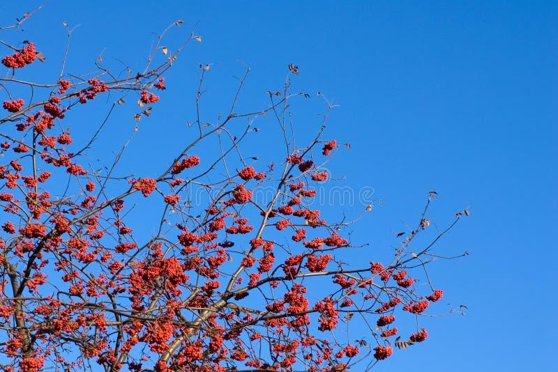sorba Rosso-matura fotografia stock libera da diritti