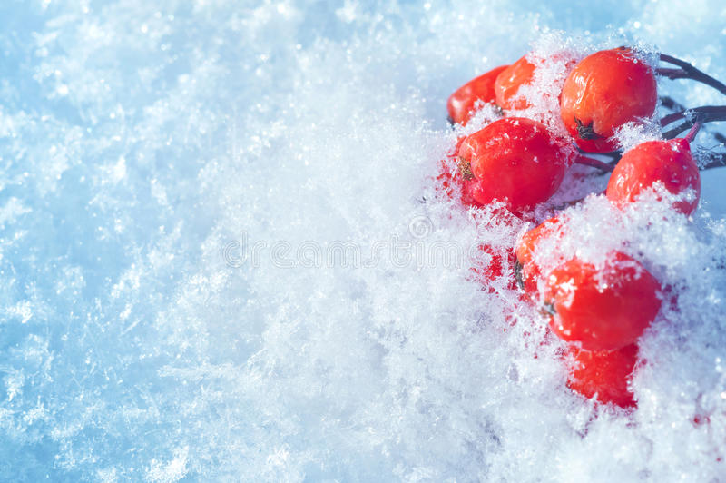Sorbe dans la neige photographie stock