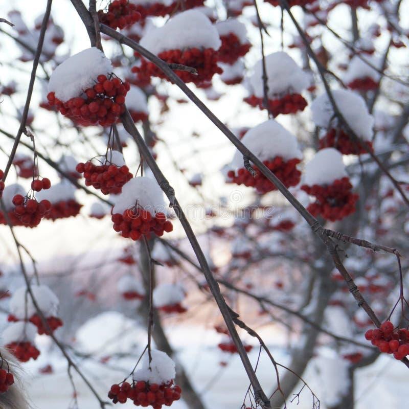 Sorbe dans la neige photo stock