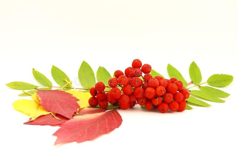 Sorbe et lames d'automne rouges image stock
