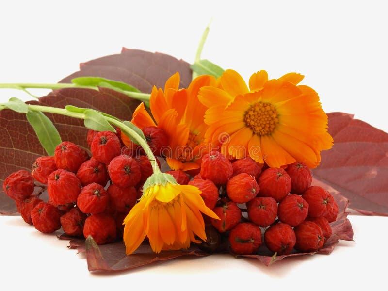 Sorbe et lames d'automne rouges avec des fleurs photos libres de droits