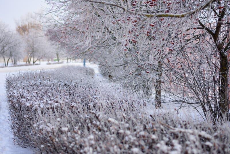 Sorbe et un certain nombre d'arbustes couverts de lustre glacial image libre de droits