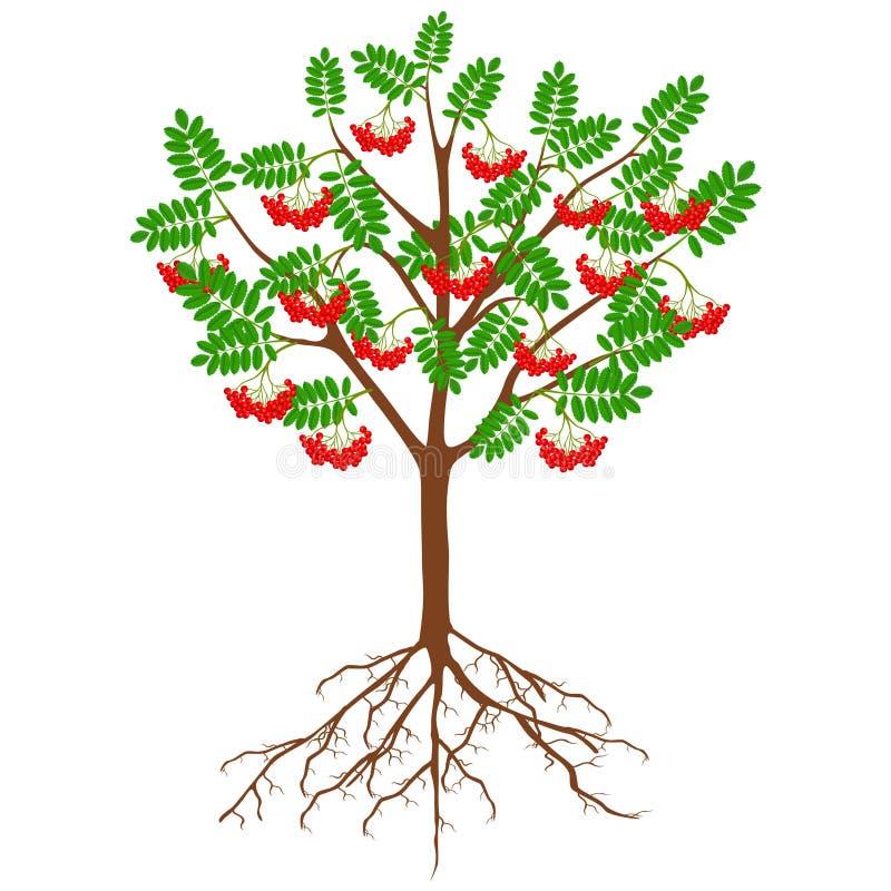 Sorbe rouge avec des baies et des racines sur un fond blanc illustration de vecteur