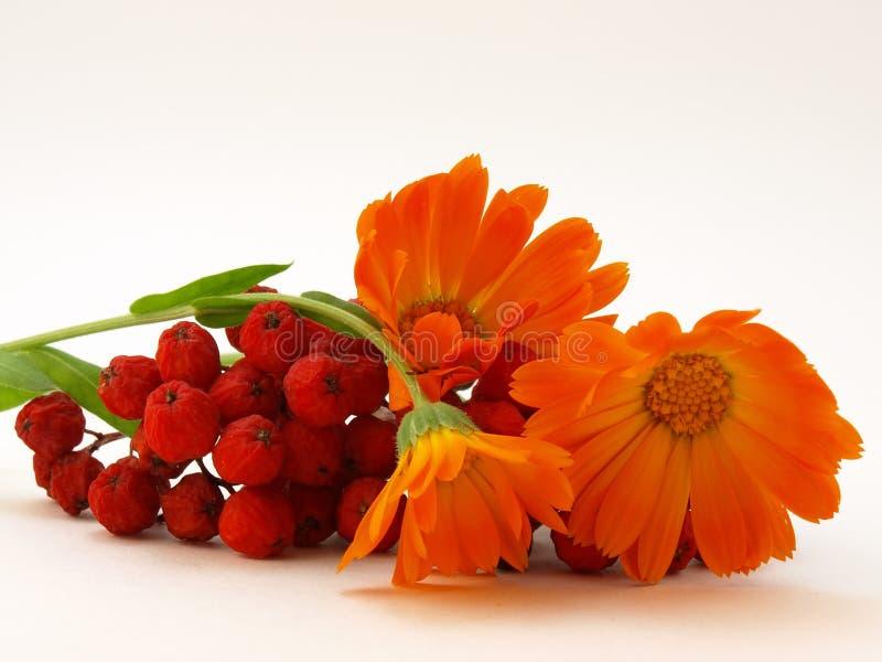 Sorbe rouge et fleurs jaunes photo libre de droits