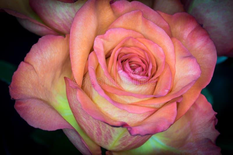 Sorbet Drei-farbige Rose lizenzfreie stockfotos
