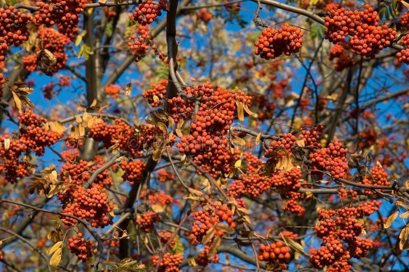 Download Sorbus aucuparia стоковое фото. изображение насчитывающей природа - 6860976
