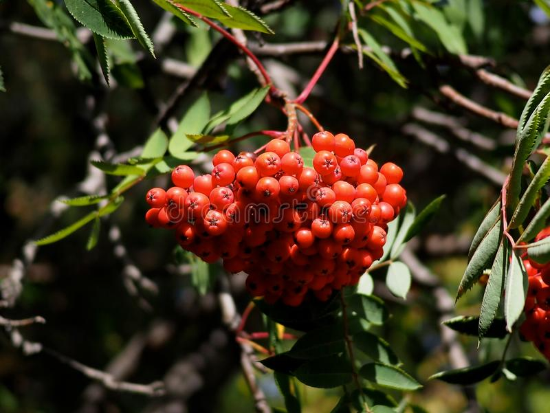 Sorbus Aucuparia of Berg Ash Or Rowan Berries royalty-vrije stock foto's