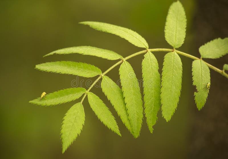 Sorbus aucuparia liścia zakończenie up zdjęcie stock