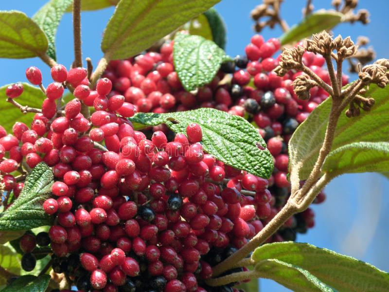 Branch with red rowan berries and green leaves against a blue sky royalty free stock photography