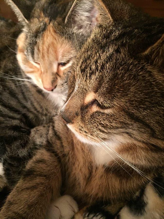 Sorella e fratello di Tabby Cat fotografia stock