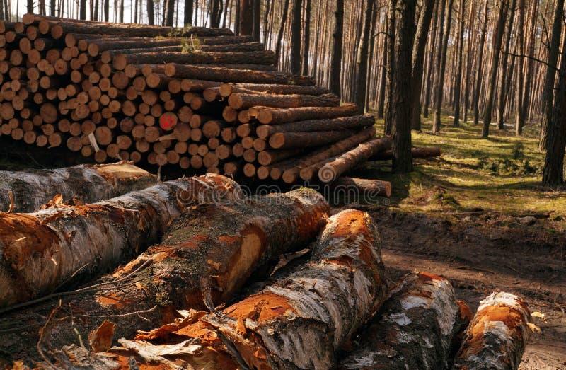 Sorgente in anticipo Un mucchio del pino e della betulla di legno dopo il taglio della foresta immagine stock libera da diritti