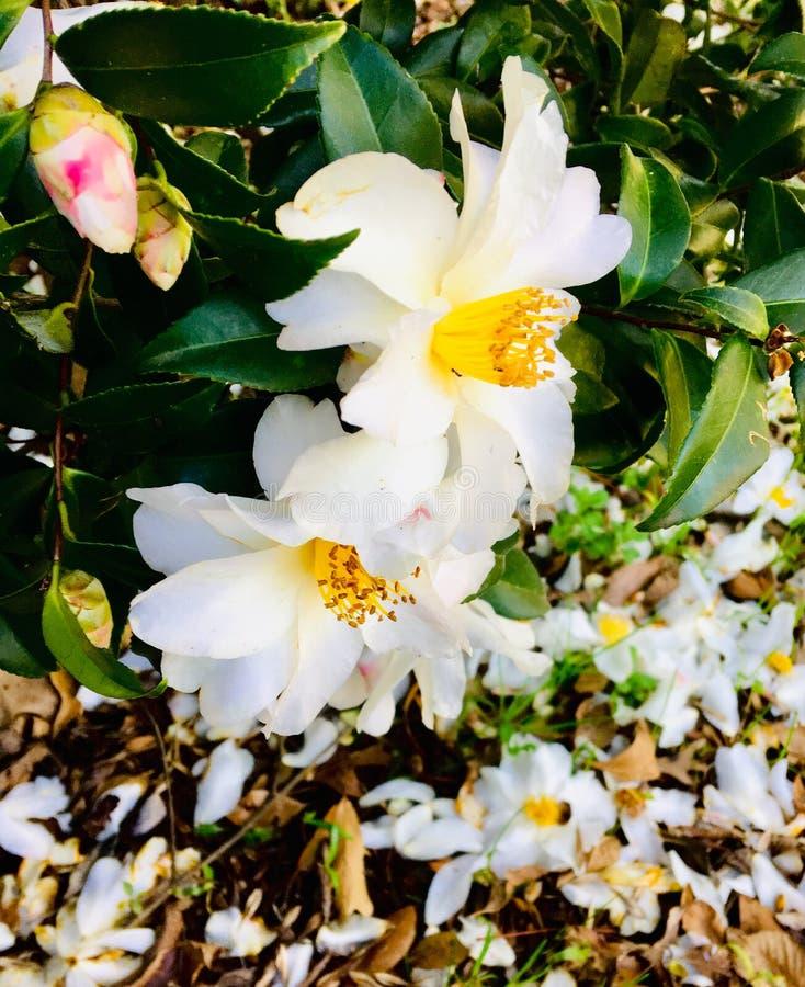 Sorgente in fioritura fotografia stock
