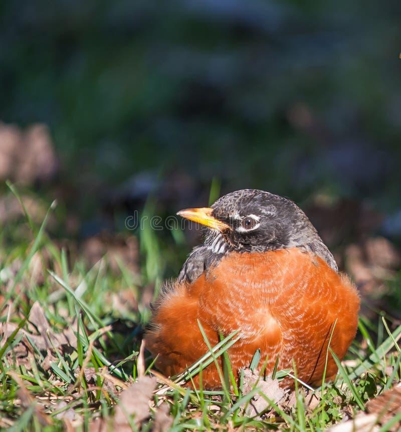 Sorgente Robin fotografie stock libere da diritti