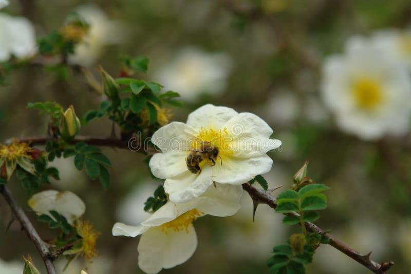 Sorgente Un'ape si siede su un fiore della rosa canina fotografia stock