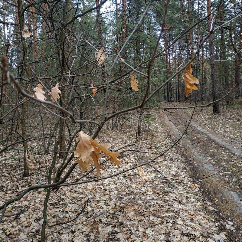 Sorgente Vecchio, foglie della quercia dell'anno scorso fotografie stock libere da diritti