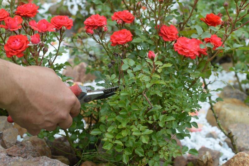 Sorgfalt von roten Rosen des Gartens stockfoto