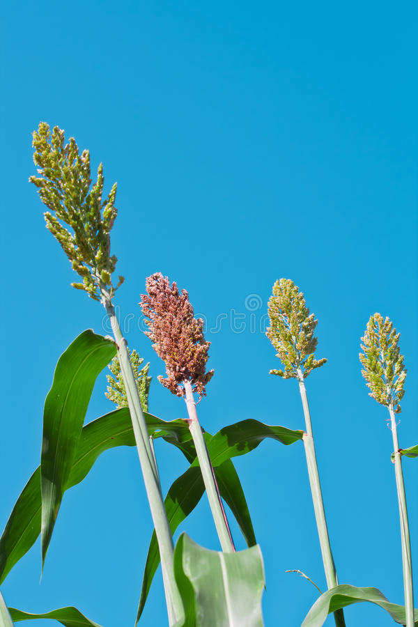 Download Sorghum stock photo. Image of drought, farmers, harvest - 22042670