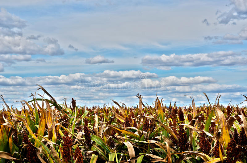 Sorghum crop on Australian farm under cloudy blue skies. Crop of sorghum grain on farmland in agriculture belt of New South Wales, Australia, under dramatic royalty free stock photos