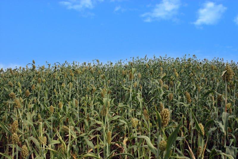 Sorghum-Getreide lizenzfreies stockbild