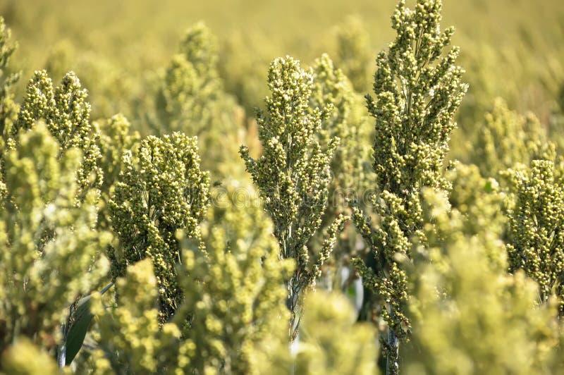 Download Sorghum grain seed heads stock photo. Image of biofuel - 14538934