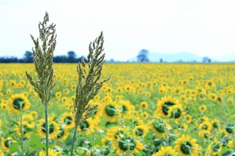 Sorghum-Granne mit gelbem Sonnenblumenfeld-Hintergrund stockbild