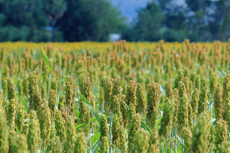 Sorghum Ready to Harvest stock image
