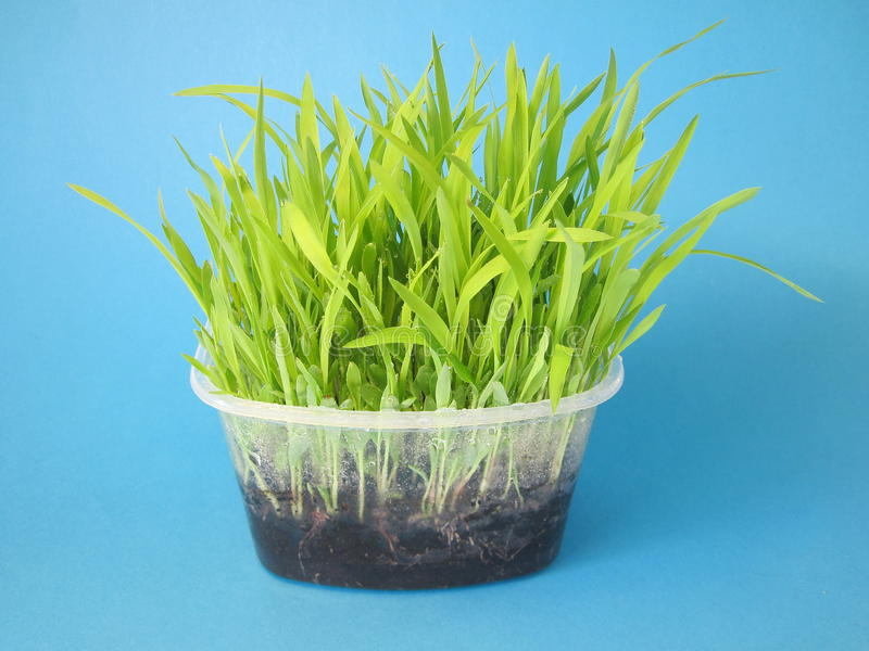Download Sorghum sprouts stock photo. Image of white, isolated - 18769438
