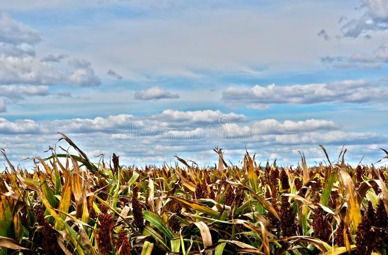 Sorghumernte auf australischem Bauernhof unter bewölkten blauen Himmeln lizenzfreie stockfotos