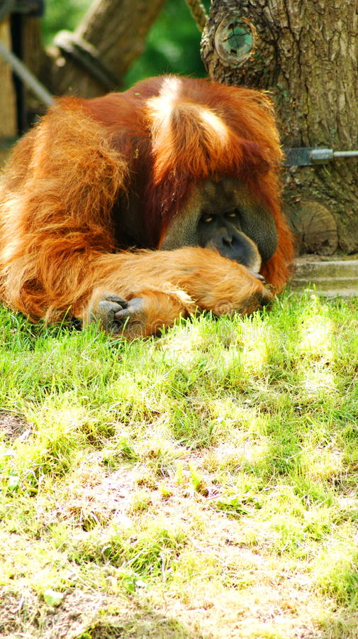 Sorgsen orangutang arkivfoton