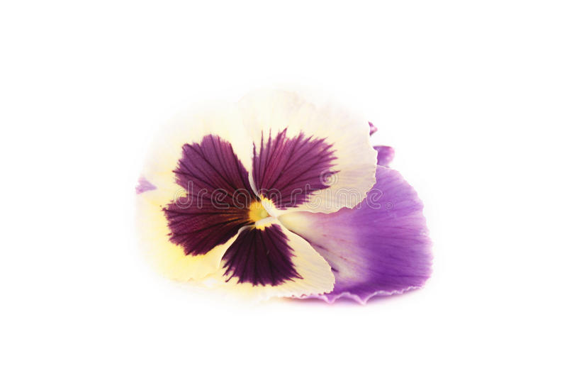 Sororia de la viola, flor de la viola fotografía de archivo libre de regalías