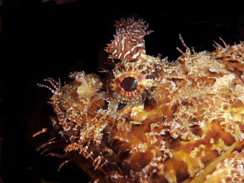 Kopf der Skorpion-Fische stockbild. Bild von leben