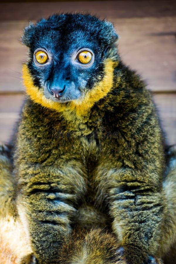 Sorprendente le lemure messe un colletto! immagine stock