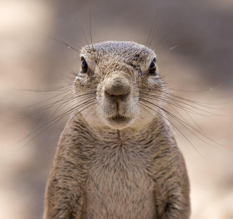 Sorpresa dello scoiattolo fotografie stock