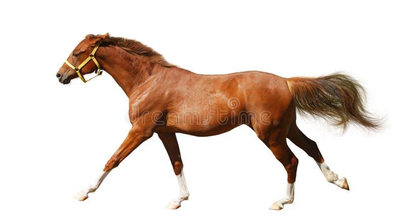 Sorrel foal gallops