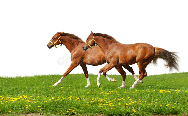 Sorrel Foals Gallop Stock Image