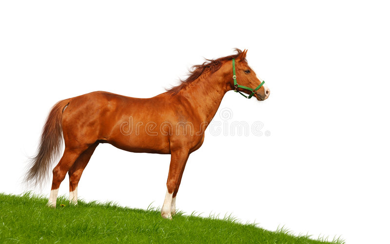 Download Sorrel horse stock photo. Image of equestrian, white, stallion - 6422700