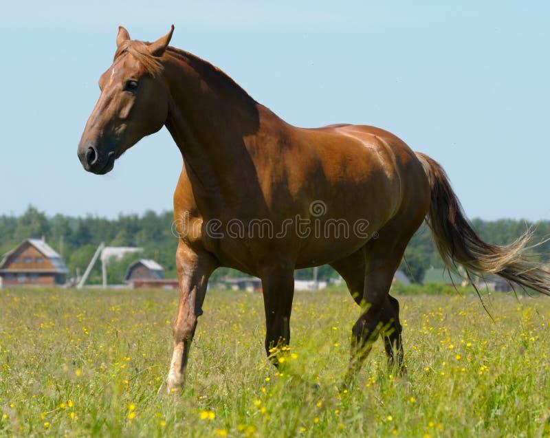 Sorrel Horse Stock Photo
