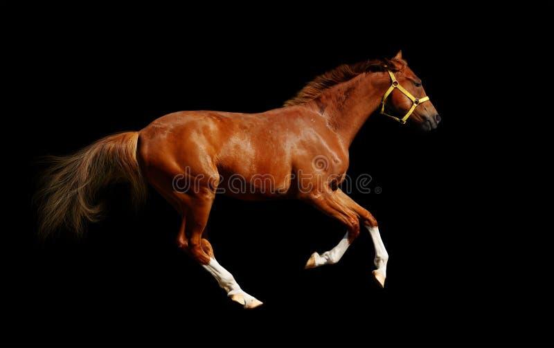 Download Sorrel horse gallops stock photo. Image of equestrian - 4079226