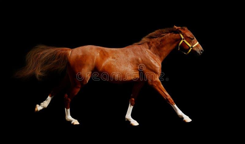 Sorrel Horse Gallops Stock Photography