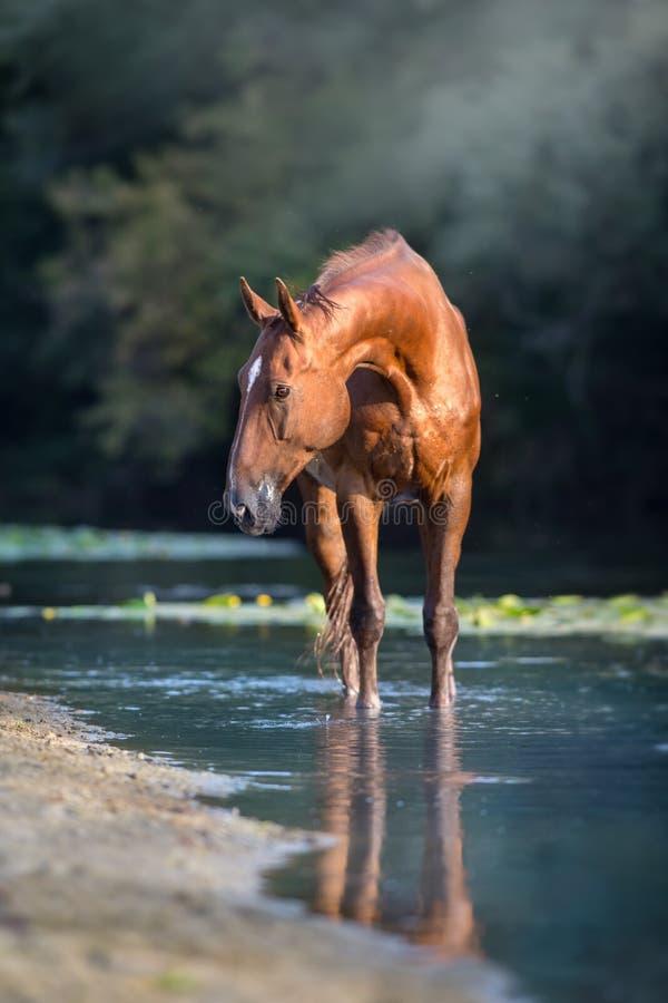 Free Sorrel Horse In River Stock Photo - 129533040