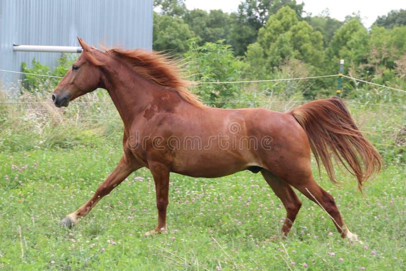 Sorrel Horse Running stock photos
