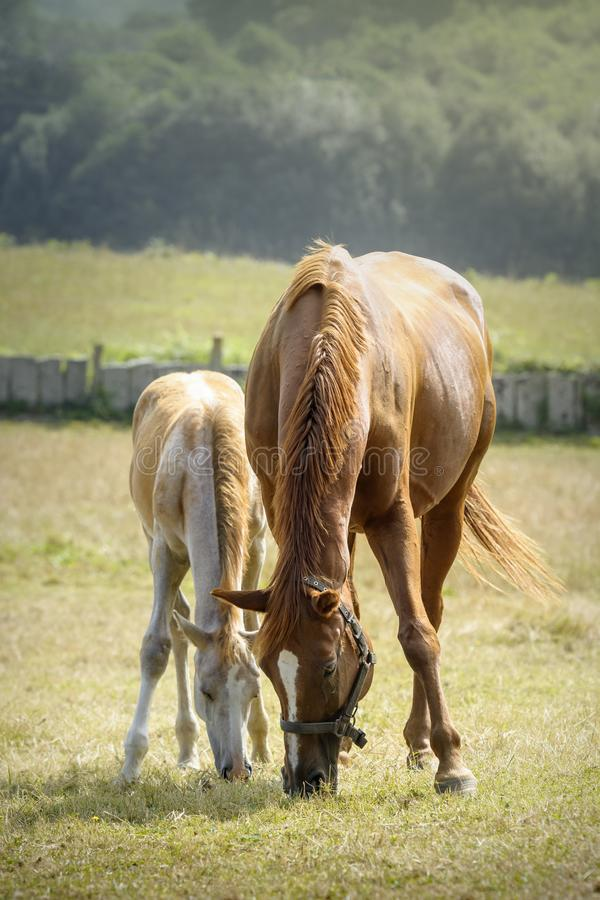Sorrel mare and her cute foal grazing peacefully in a meadow royalty free stock image